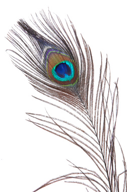peacock-feather-on-white